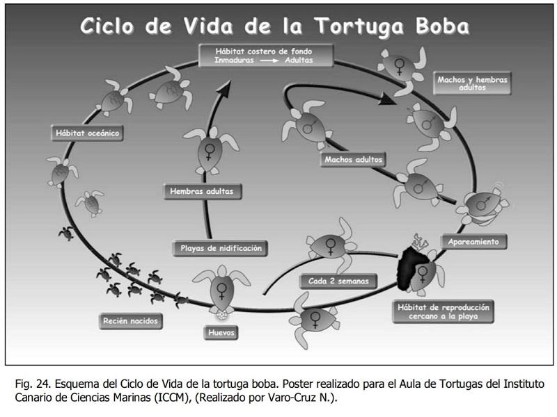 ciclo de vida tortuga boba