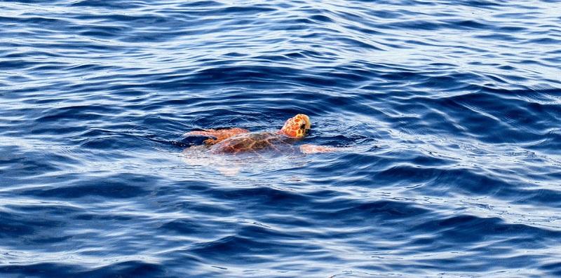 Tortuga boba nadando en la superficie