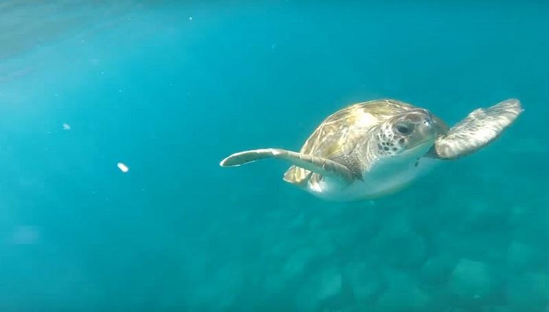 snorkel tortuga verde armeñime
