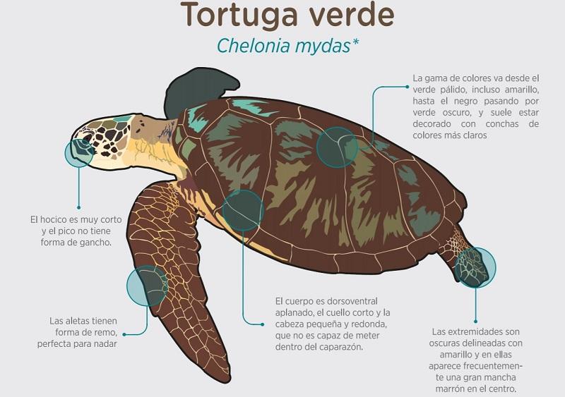 como es la tortuga verde