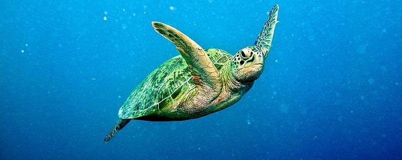 alimentacion tortuga verde chelonia mydas